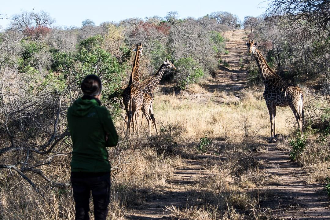 safari in südafrika giraffen hautnah