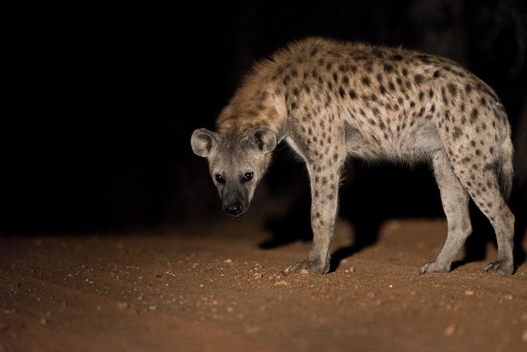safari in südafrika Hyäne