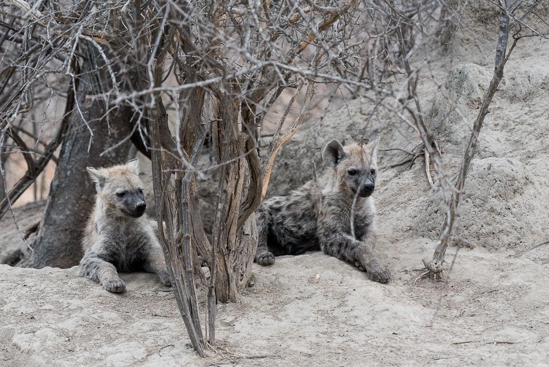 safari in südafrika hyänen