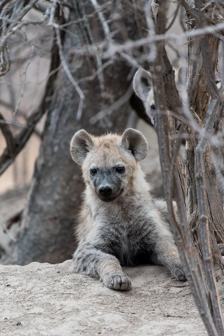 safari in südafrika junge Hyäne