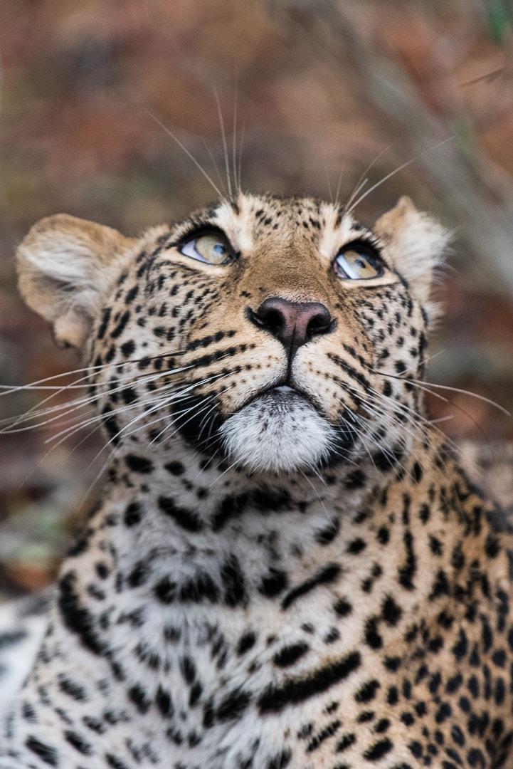 african safari leopard