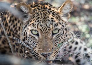 Südafrika | Erlebe eine erstaunliche Safari im Wildtierschutzgebiet Kapama Private Game Reserve