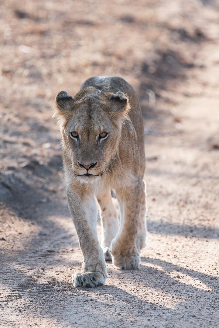 safari in südafrika löwen