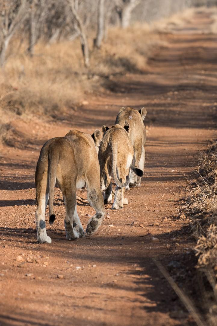 safari in südafrika löwe