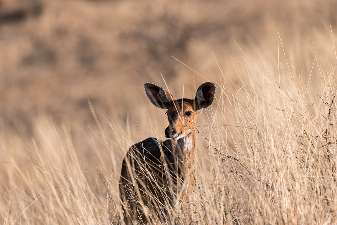 safari in südafrika nyala