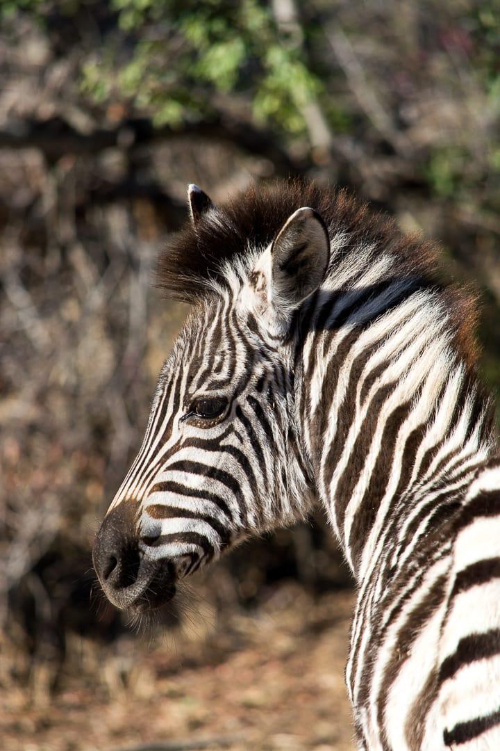 african safari zebra